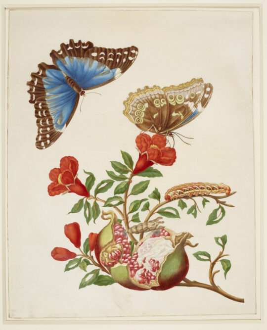Pomegranate and Menelaus Blue Morpho Butterfly